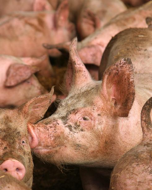 Lo Spamdexing - immagine di maiali sporchi
